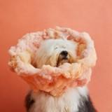 Elle photographie des chiens avec des collerettes décoratives pour une bonne cause !