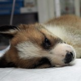 Alerte Coronavirus : un chien testé positif pour la 1ère fois, la panique s'empare des propriétaires d'animaux