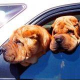 Coup de chaleur du chien : encore deux victimes