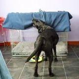 Un chien s'enroule seul dans une couverture (Vidéo du jour)
