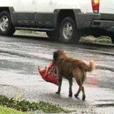 Ouragan Harvey : en pleine tempête ce chien sort se promener, et il a pensé à tout ! (Photo)