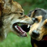 Une dent de chien datant de 33000 ans découverte en Sibérie