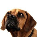 La dominance chez le chien : une fausse croyance