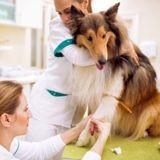 Don du sang chez le chien : pourquoi et comment un chien devient-il donneur ?