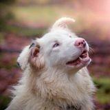 Chiens double merle : retour sur les dangers de l'élevage de chiens de couleur merle
