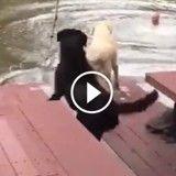 """Deux chiens sautent dans l'eau pour """"sauver"""" leur maître (Vidéo du jour)"""