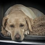 Un empoisonneur s'attaque aux chiens de Carcassonne