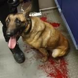 La photo choc d'un chien de sécurité en sang dans le métro provoque la colère