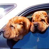 Leur chien meurt enfermé dans la voiture
