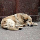 Un massacre de chiens errants et domestiques annoncé en Russie ?