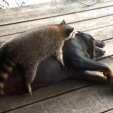 Le chien et le raton laveur qui s'aiment d'amour tendre (Vidéo du jour)