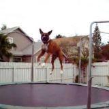 Un Boxer fait du trampoline ! (Vidéo du jour)