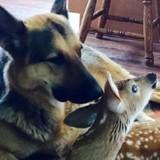 Le Berger Allemand grognon approche du bébé faon blessé : sa réaction va changer toute sa vie