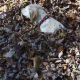Un chien, des feuilles mortes, un grand moment de bonheur (Vidéo du jour)