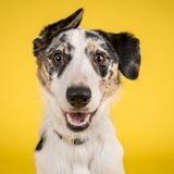 Selon cette étude, les races de chiens ont des cerveaux très différents