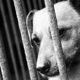 La fourrière contrainte d'euthanasie, le combat d'une bénévole