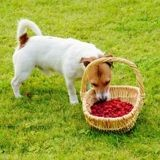 Les chiens ont-ils le droit de manger des framboises ?
