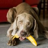 Quels fruits peut-on donner à son chien ?