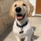 Elle prend son Golden Retriever en photo : tout le monde devient fan des drôles de fesses du chien !