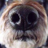 Des chiens ont attrapé la grippe A (H1N1)