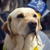 Les chiens guides d'aveugles exclus dans 25% des lieux publics