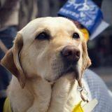 Tout savoir sur le chien guide d'aveugle et devenir un maillon de la chaîne de solidarité