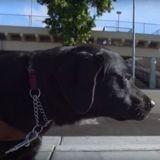 Les chiens guides d'aveugle mis à l'honneur dans un nouveau documentaire sur Netflix (Vidéo)