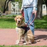 Malvoyants, malentendants ou diabétiques : vers plus de chiens guides pour les personnes avec handicap ?