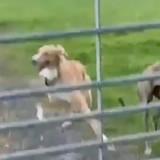 Face à une clôture, le chien se transforme en hélicoptère : plus de 7 millions de personnes restent sans voix