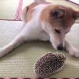 La jolie rencontre entre ce chien et ce hérisson va éclairer votre journée (Vidéo du jour)