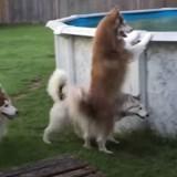 Impatients d'aller dans la piscine, ces chiens tentent le tout pour le tout (Vidéo du jour)