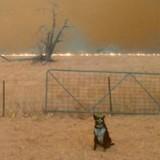 Incendies en Australie : les flammes se rapprochent du chien qui saute par-dessus la clôture et…