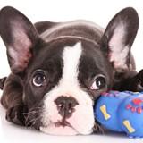 Quelle est la meilleure couleur pour un jouet pour chien ?