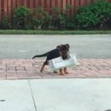 Ce petit chien Berger allemand veut rapporter le journal et c'est adorable (Vidéo du jour)