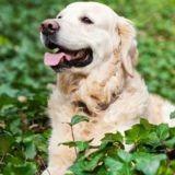 Que se passe-t-il si un chien mange du lierre ?