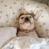 10 chiens trop mignons s'invitent dans le lit de leur maître !