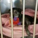 Ce chien qui vit dans un refuge fait son lit tous les jours (Vidéo)