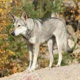 Pris pour un loup, un chien échappé de la SPA rôde dans les Yvelines et inquiète les habitants
