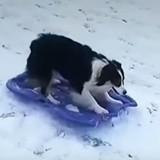 Cette chienne est la reine de la luge et c'est plutôt impressionnant ! (Vidéo du jour)