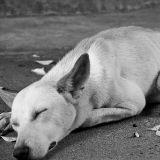 Un couple abandonne son chien et le laisse mourir de faim en Corse