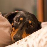 Leishmaniose canine : comment prévenir cette maladie très grave pour les chiens ?