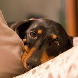 Leishmaniose canine : en Mars, dans le Sud, opération dépistage !