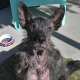 Cette chienne dans un état absolument terrible s'est métamorphosée en 2 semaines