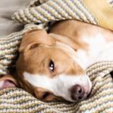 Comment savoir si mon chien a mal au ventre ?