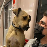 Chaque jour, ce chien se promène 30 kilomètres dans les transports en commun d'Istanbul