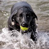Le chien et la noyade : prévenir les risques et agir en cas d'urgence