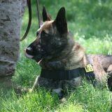 Quand les chiens militaires américains sont abandonnés comme du matériel usé