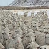 Un chien se cache parmi les moutons mais seulement 5% de la population est capable de le voir !