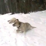 2 chiens font de la luge sur le ventre (Vidéo du jour)