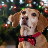 Noël : quels dangers pour votre chien ?